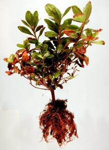 Image related to Azalea (Rhododendron spp.)-Phytophthora Root Rot and Wilt