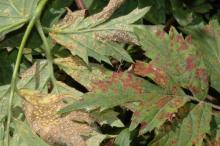 Image related to Blackberry (Rubus spp.)-Blackberry Rust