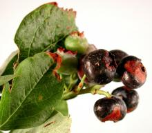Image related to Blueberry (Vaccinium corymbosum)-Alternaria Fruit Rot