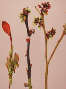 Image related to Blueberry (Vaccinium corymbosum)-Bacterial Canker