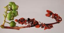 Image related to Blueberry (Vaccinium corymbosum)-Botrytis Blight