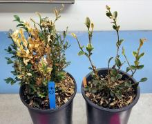 Two potted boxwood plants
