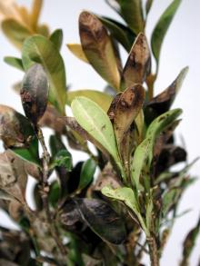 Image related to Boxwood (Buxus spp.)-Box Blight