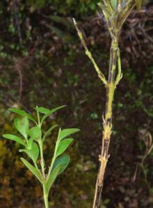 Two boxwood branches