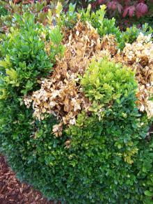 Image related to Boxwood (Buxus spp.)-Phytophthora Root and Crown Rot