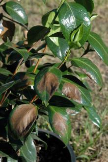 Camellia Sunburn