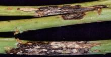 Image related to Cabbage and Cauliflower (Brassica sp.)-Black Leg (Phoma Stem Canker)