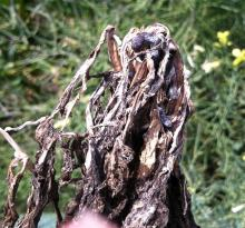 Image related to Cabbage and Cauliflower (Brassica sp.)-Sclerotinia Stem Rot and Watery Soft Rot