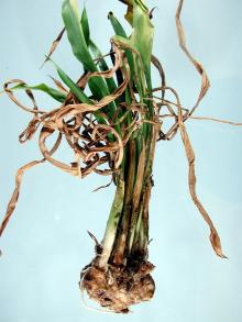 Image related to Calla Lily (Zantedeschia spp.)-Soft Rot
