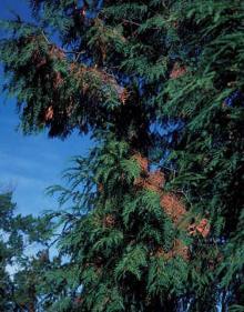 Image related to Cedar (Cedrus spp.)-Cedar Flagging