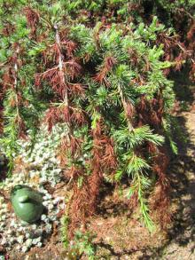 Image related to Cedar (Cedrus spp.)-Needle Blight