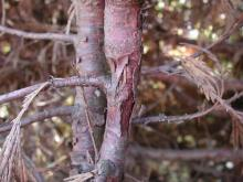Image related to Cedar, Incense-Branch Canker
