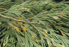 Image related to Cedar, Incense-Broom Rust