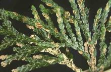 Image related to Cedar, Western Red (Thuja plicata)-Leaf Blight (Keithia Blight)