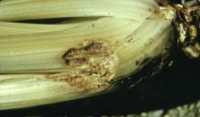 Image related to Celery (Apium graveolens var. dulce)-Cottony Rot/Pink Rot (Sclerotinia)