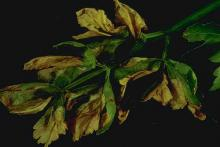 Image related to Celery (Apium graveolens var. dulce)-Early Blight (Cercospora Blight)