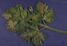 Image related to Celery (Apium graveolens var. dulce)-Late Blight (Septoria Leaf Blight)