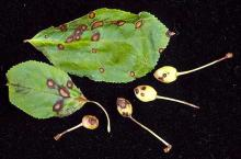 Image related to Cherry (Prunus spp.)-Bacterial Canker