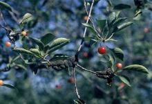 Image related to Cherry (Prunus spp.)-Black Knot