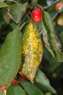 Image related to Cherry (Prunus spp.)-Leaf Spot