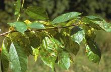 Image related to Cherry (Prunus spp.)-Necrotic Rusty Mottle (Lambert Mottle) and Rusty Mottle