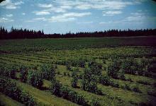 Image related to Cherry (Prunus spp.)-Nematode, Root-lesion