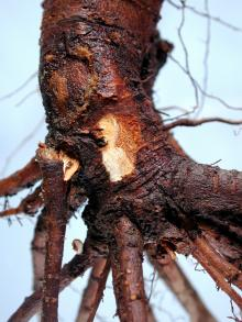 Image related to Cherry (Prunus spp.)-Phytophthora Root Rot