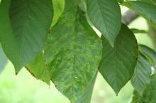 Cherry (Prunus spp.)-Prune Dwarf