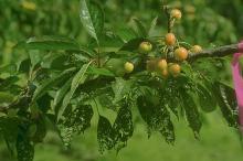 Image related to Cherry (Prunus spp.)-Prunus Necrotic Ringspot