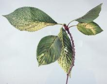 Image related to Cherry (Prunus spp.)-Virus-induced Cherry Decline