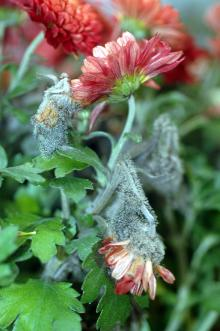 Image related to Chrysanthemum-Gray Mold
