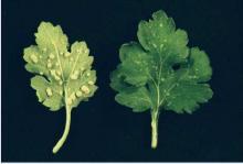 Image related to Chrysanthemum-White Rust