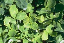 Image related to Clover (Trifolium spp.)-Black Stem