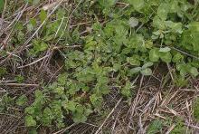 Image related to Clover (Trifolium spp.)-Nematode, Stem