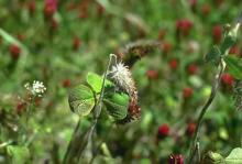 Image related to Clover (Trifolium spp.)-Northern Anthracnose