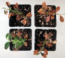 Image related to Cotoneaster-Phytophthora Root Rot