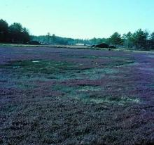 Image related to Cranberry (Vaccinium macrocarpon)-Phytophthora Root and Runner Rot
