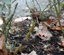 Image related to Crown Gall Disease of Nursery Crops