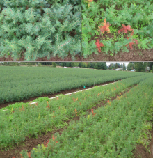 Image related to Damping-off in Tree Nurseries