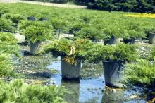 Image related to Diagnosis and Control of Phytophthora Diseases