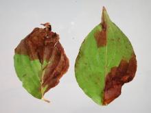 2 dogwood leaves