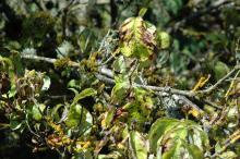 Image related to Dogwood (Cornus spp.)-Anthracnose