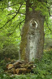 Image related to Elm (Ulmus spp.)-Bacterial Wetwood