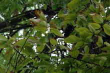 Image related to Elm (Ulmus spp.)-Dutch Elm Disease