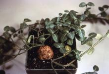 Image related to Euonymus-Crown Gall