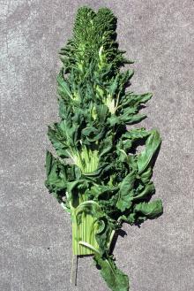 Strange looking top of sugar beet plant