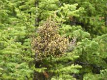 Image related to Fir, True (Abies spp.)-Broom Rust