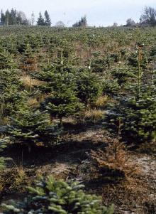 Image related to Fir, True (Abies spp.)-Root Rot, Phytophthora