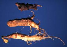 Image related to Ginseng (Panax spp.)-Cylindrocarpon Root Rot (Disappearing Root Rot)