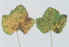 Image related to Gooseberry and Currant (Ribes spp.)-Anthracnose